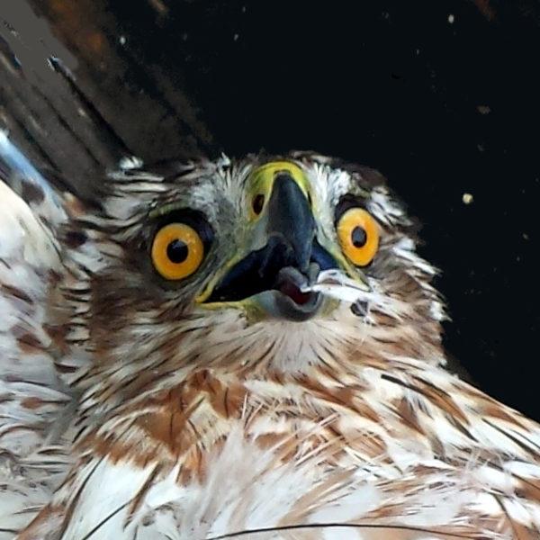 Cooper Hawk